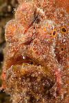 Frogfish (Antennarius commersoni)