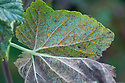 Orange pustules of the fungal disease rust on the underside of blackcurrant leaves, mid October.