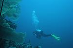 Plongee sur les gorgones dans le lagon de Mayotte.