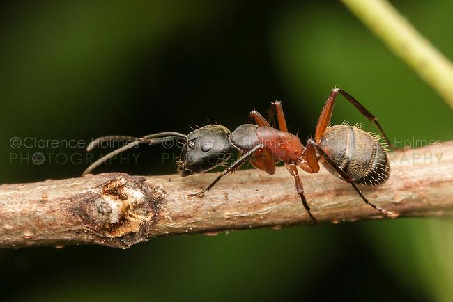 A Ferruginous Carpenter Ant (Camponotus chromaiodes) walks on a plant stem.