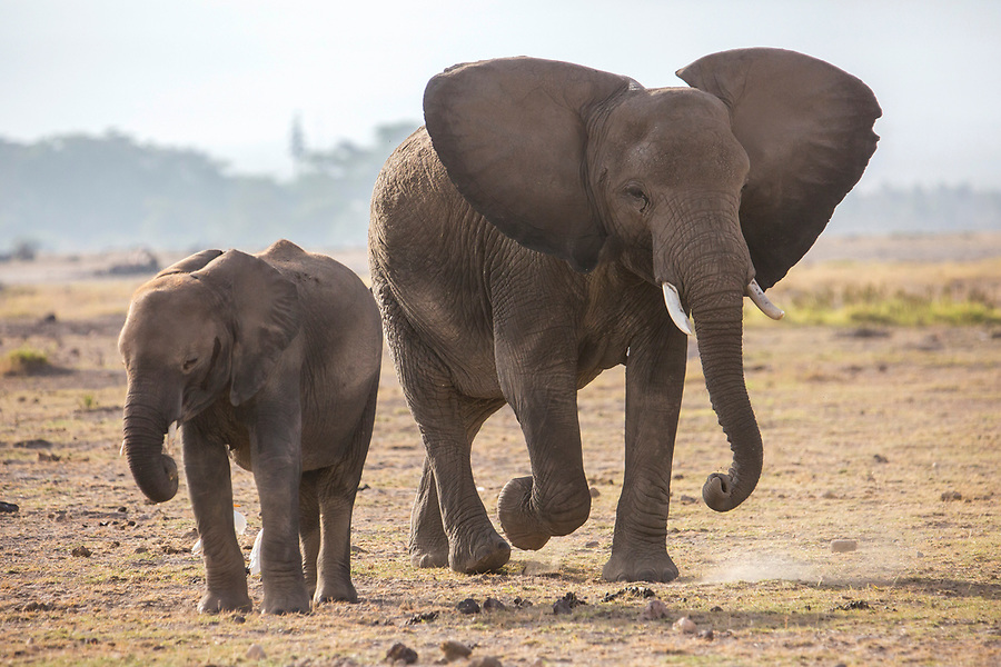 An elephant and her calf are photographed in Amboseli National Park in Kenya. 1/24/2017 IFAW/Julia Cumes