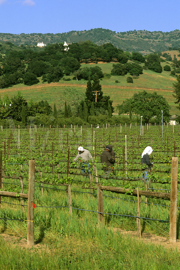 Napa Valley California Wine Country wine vineyards on the famous Silverado Trai
