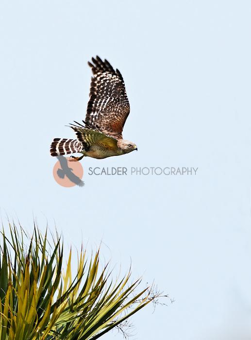 Red Shouldered Hawk in flight in Viera Wetlands