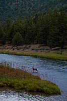 Mule Deer crossing the Crooked River Canyon near Prineville, Oregon