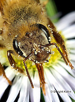 1B07-504z  Honeybee face, tongue, compound eyes, antennae, Apis mellifera