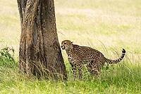 A Cheetah, Acinonyx jubatus jubatus, stands at the base of a tree after marking its territory in Maasai Mara National Reserve, Kenya