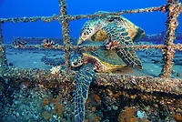 green sea turtle, Chelonia mydas, on the deck of a shipwreck, Oahu, Hawaii, USA