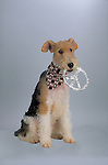 Wire Fox Terrier<br />