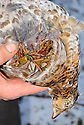 00515-076.17  Ruffed Grouse: Hand of hunter holds grouse with the contents of its crop exposed.  Crop contains, strawberry leaves, aspen buds, hazel catkins and birch catkins.