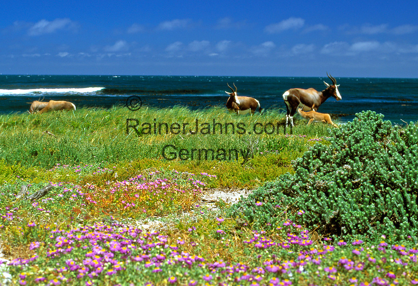 South Africa, Cape Town, Cape Peninsula Nature Reserve, Bontebok (Darnaliscus dorcas) feeding young one