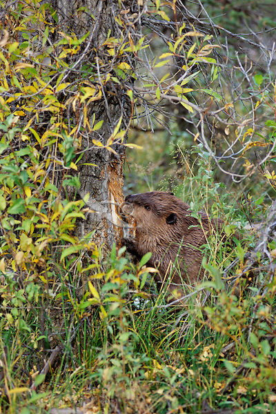 North American Beaver (Castor canadensis) cutting down cottonwood tree.  Western U.S., fall.