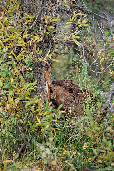 North American Beaver (Castor canadensis) cutting down cottonwood tree.  Western U.S., fall.