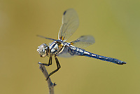 389270009 a wild female bleached skimmer libellula composita perches on a dead twig at blackrock springs inyo county california