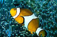 Clown Anemonefish are a favorite exibit at the Waikiki Aquarium, Oahu.