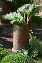 Rhubarb in terracotta forcung jars, latreApril.