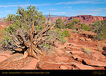 Juniper, Panorama Point, Capitol Reef National Park, Utah