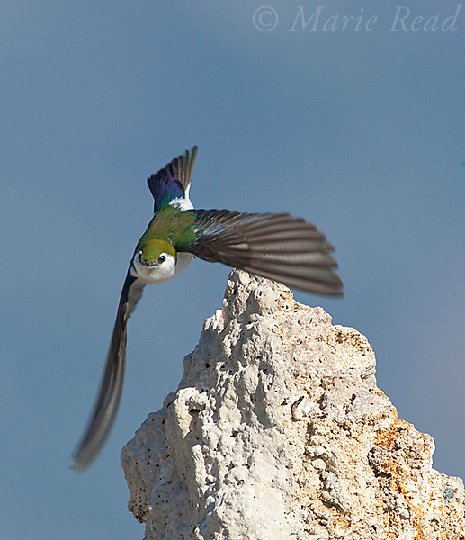 Violet-green Swallow (Tachycineta thalassina), male taking flight from tufa tower, Mono Lake, California, USA