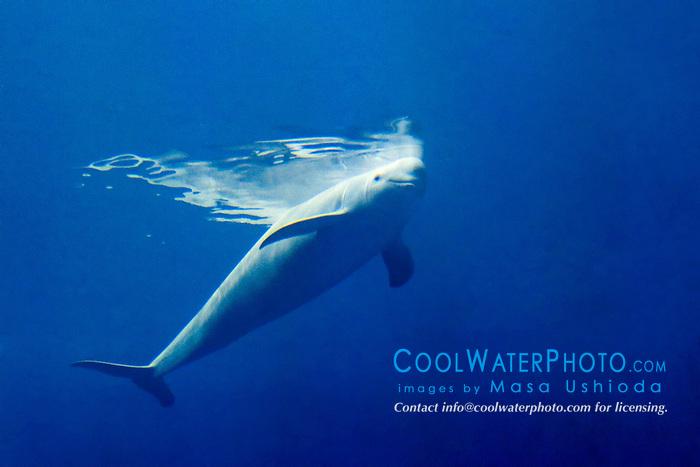 finless porpoise, Neophocaena phocaenoides (c), Info-Pacific Ocean
