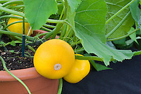 Courgette Zucchini 'One Ball' round yellow unusual vegetable shape in pot