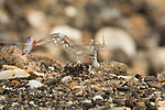 Magnificent Anemone Shrimp, Ancylomenes magnificus, clear shrimp with white purple and red
