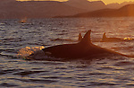 .Orcas. Killer Whale. Tysfjord, 90 km south of Narwik. Norway.