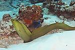 Gymnothorax funebris, Green moray, Cozumel, Mexico