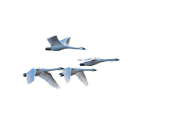 30000-00111 Trumpeter Swans in flight (Cygnus buccinator) on white background,  Marion Co., IL