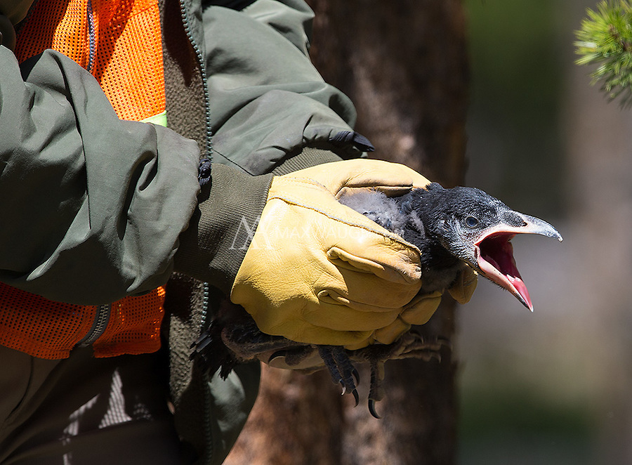 A park ranger moves a raven chick away from a busy picnic area after the chick fell from its nest high in a tree.