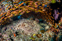 Golden sweepers, Parapriacanthus ransonneti, surround a Tassled Wobbegong, Eucrossorhinus dasypogon, in a small cave. Raja Ampat, Papua, Indonesia, Pacific Ocean