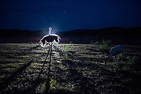 An Ostrich and Fallow deer graze at the OX Ranch, as they are illuminated by the headlights of a ranch vehicle, after sunset on 15th of August, 2017 in Uvalde, Texas, USA. <br /> Photo Daniel Berehulak for the New York Times<br /> According to the Ox Ranch website, Ostrich may be hunted year round without any seasonal restrictions.<br /> Origin: Africa<br /> Height: 6.9 – 9.2 feet<br /> Weight: 220-346<br /> Estimated World Population: 300,000+<br /> The ostrich is the world's fastest and largest bird!  Our ostrich hunts put you against an adversary that is capable of running up to 42 miles per hour, has razor-sharp talons, and is capable of splitting a man in two.<br /> You may hunt our ostrich using any method you prefer, including Spot and Stalk, Bow Hunting, Rifle Hunting, Pistol Hunting, Safari Style, or from a Blind. Our Ostrich are free ranging on over 18,000 acres of Texas Hill Country.<br /> Ostrich Hunting Trophy Fee: $4,000