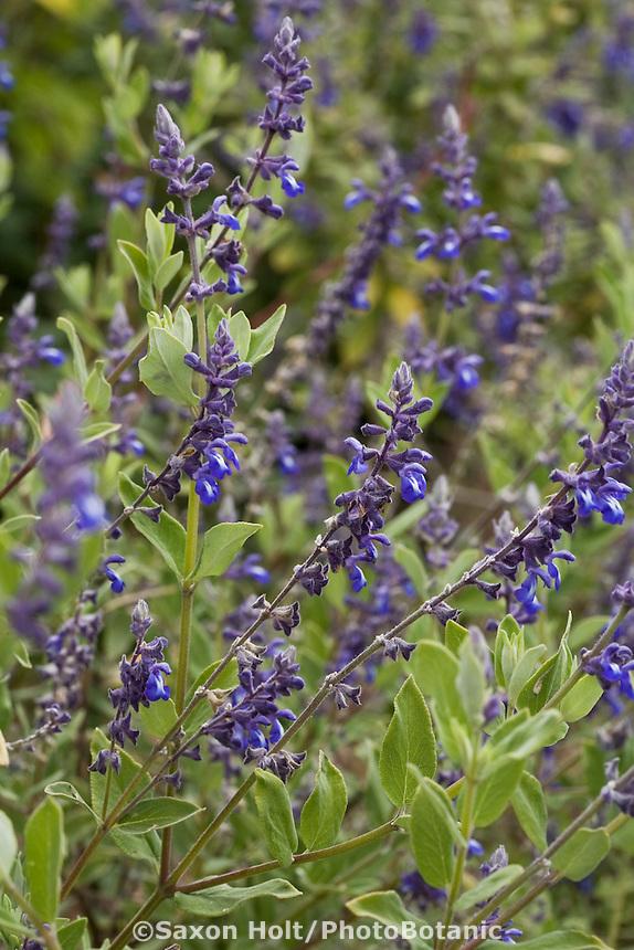 Salvia flocculosa, blue flower perennial subshrub in Cabrillo College salvia garden