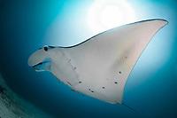 Reef Manta Ray, Manta alfredi, with Slender Suckerfish (Echeneis naucrates, Manta Sandy dive site, Arborek, Dampier Straits, Raja Ampat, West Papua, Indonesia