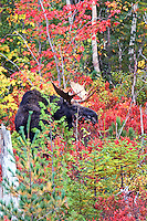 #M50 Bull Moose Amongst Autumn Foliage