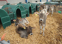 Brown Swiss calves on straw and with kennels.