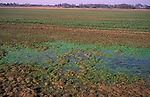 A912GB Eutrophication showing by algae and nutrient enriched water in puddle Boyton marshes, Suffolk, England