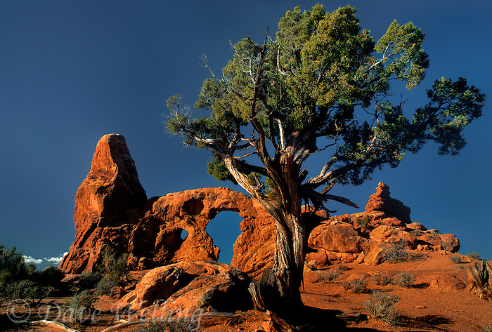 714000077 turret arch framed by a twisted utah juniper juniperus utahensis in arches national park in utah