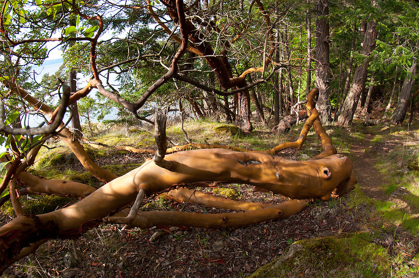 Madrona (Arbutus menziesii) Tree, Jones Island State Park, San Juan Islands, Washington, US