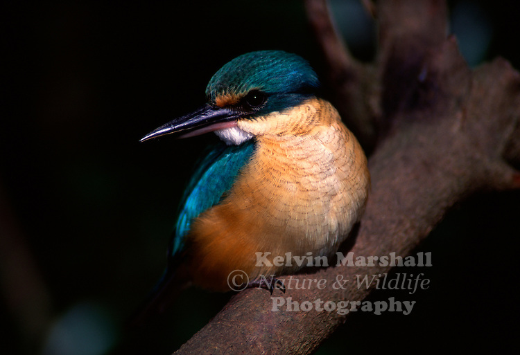 The Sacred Kingfisher (Todiramphus sanctus)  is a medium sized kingfisher. It has a turquoise back, turquoise blue rump and tail, buff-white underparts and a broad cream collar. There is a broad black eye stripe extending from bill to nape of neck. Both sexes are similar, although the female is generally lighter with duller upper parts. Young birds are similar to the female, but have varying amounts of rusty-brown edging to feathers on the collar and underparts, and buff edges on the wing coverts.