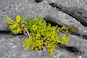 Stunted Ash tree {Fraxinus excelsior} growing in limestone pavement gryke, Gait Barrows National Nature Reserve, Lancashire, UK. September.
