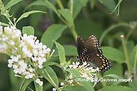 03418-01018 Red-spotted Purple (Limenitis arthemis) on Butterfly Bush (Buddleja davidii)  Marion Co. IL