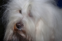 Headshot of a Coton de Tulear, from the International Dog Show in Prague May 2014.