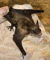 MA20-717z  Big Brown Bat 4 week old young,  Eptesicus fuscus