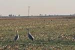 Sandhill Cranes on Staten Island near Walnut Grove