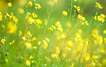 Backlight Yellow Flowers, Sierra de Andujar Natural Park, Sierra Morena, Andalucia, Spain