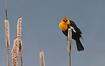Yellow Headed Blackbird on cattail reed during spring mating season