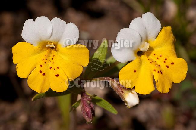 Yellow and White Monkeyflower (Mimulus bicolor), El Dorado National Forest, Beaver Ridge, Amador County, Calif.