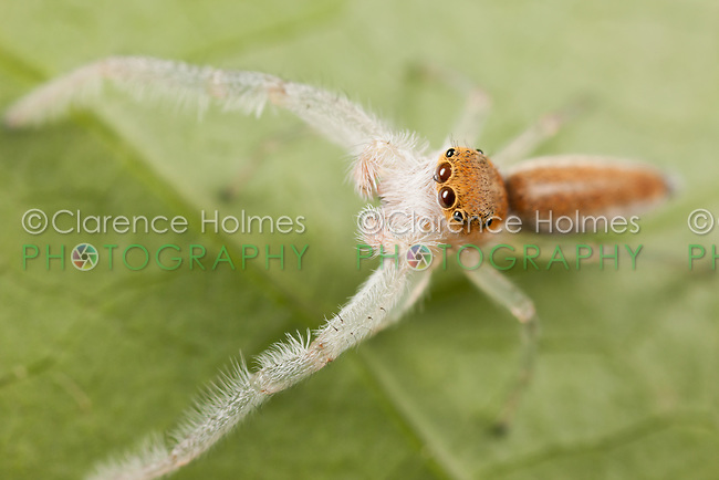 Jumping Spider (Hentzia mitrata) - Male, West Harrison, Westchester County, New York