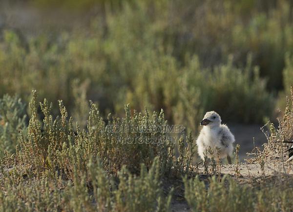 Black Skimmer (Rynchops niger), young, Port Isabel, Laguna Madre, South Padre Island, Texas, USA