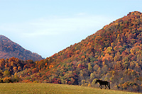 Horses roam in the mountains of North Carolina near Junaluska.