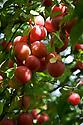 Prunus cerasifera Myrobalan Group, early August. A wild cherry plum or Myrobalan plum.